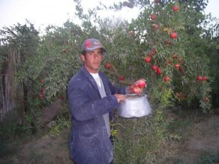 Pomegranate_farmer