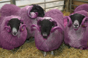 Purple_sheep_1
